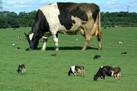 漱石や子規も愛した (飲み過ぎ有害な) 牛乳の栄養効果