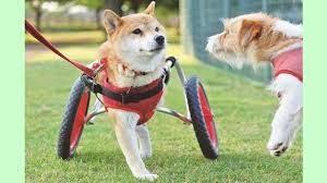 身体障害の車椅子犬